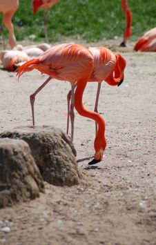 Free Flamingos Royalty Free Stock Photos - 2434118