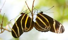 Free Zebra Longwing Butterfly Stock Photo - 2434900