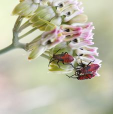Red Beetles Stock Image