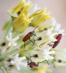 Free Red Beetles Stock Photos - 2434963