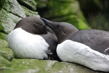 Common Murres. Royalty Free Stock Photography