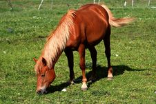 Free Horse Eating Grass Royalty Free Stock Image - 2435686