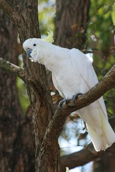 Free Curious Looking White Parrot Royalty Free Stock Photography - 2436057