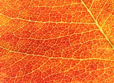Free Red Leaf Background Stock Image - 2436061