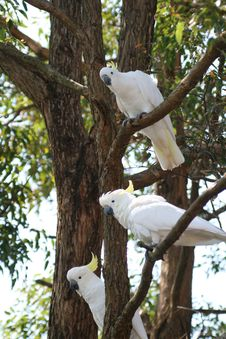 Free Three White Parrot Stock Photography - 2436062