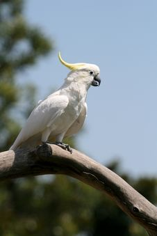 Free White And Yellow Parrot Royalty Free Stock Image - 2436066
