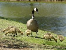 Mother Goose Stock Photography