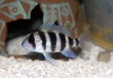 Free Frontosa Cichlid (Cyphotilapia Frontosa) Stock Photo - 2436360