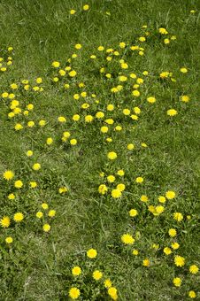 Free Flowerses Of The Dandelion Royalty Free Stock Image - 2437256