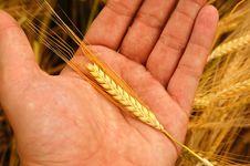 Free Holding Wheat Royalty Free Stock Photo - 2437765