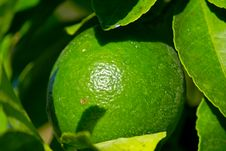 Free Close Up Green Lemon Royalty Free Stock Photos - 2437838