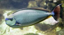 Free Tropical Fish 7 Stock Images - 2437954