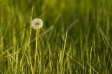 Free Dandelion Stock Photography - 2438872