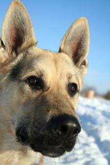 Free Alsatian Dog Royalty Free Stock Photos - 2439138