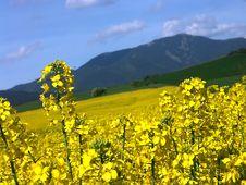 Free Colza Field Stock Photo - 2439500