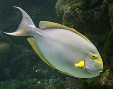 Free Tropical Fish 10 Royalty Free Stock Image - 2439916