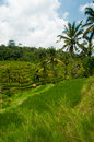 Free Rice Terrace In Bali Royalty Free Stock Photo - 24301725