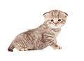 Free Baby Scottish Fold Kitten Royalty Free Stock Image - 24308916