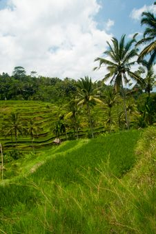 Free Rice Terrace In Bali Royalty Free Stock Photo - 24301725