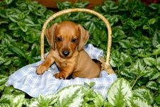 Free Dachshund Puppy In A Basket Royalty Free Stock Image - 24303526