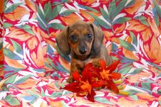Free Island Girl Dachshund Puppy Royalty Free Stock Images - 24303779