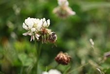 Free Bee On Grass Flower Royalty Free Stock Image - 24304366