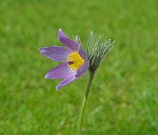Free Pasque Flower Royalty Free Stock Photos - 24309608