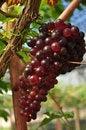 Free Wine Grape Royalty Free Stock Photo - 24314545