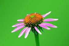 Free Echinacea On A Green Background Stock Image - 24312191