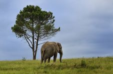 Free Lone Elephant Royalty Free Stock Photo - 24313755