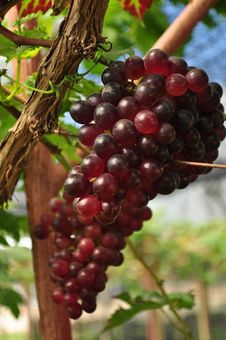 Free Wine Grape Royalty Free Stock Photo - 24314545