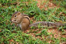 Free Striped Palm Squirrel Royalty Free Stock Photos - 24318138