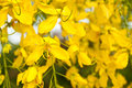 Free Golden Shower Tree Royalty Free Stock Image - 24323356