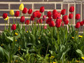 Free Spring Tulips Royalty Free Stock Images - 24328999