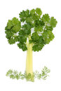 Free Tree Of Parsley And Celery Royalty Free Stock Photo - 24329395