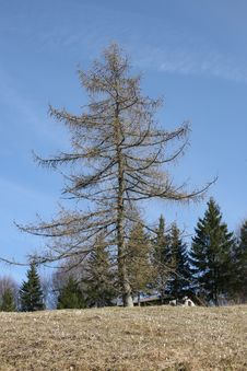 Free Larch Royalty Free Stock Image - 24325006