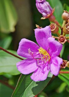 Free Kuduk-Kuduk Flower Royalty Free Stock Photo - 24326155