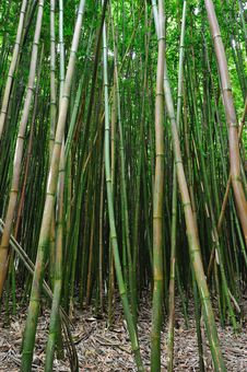 Bamboo Forest Maui, Hawaii Stock Photos