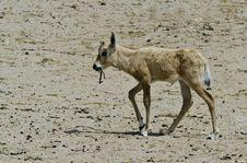 Free Baby Of Herbivorous Antelope Oryx &x28;Oryx Leucoryx&x29; Stock Image - 24328471
