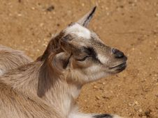 Free Little Goat Stock Photo - 24329120