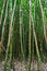 Free Bamboo Forest Maui, Hawaii Stock Photos - 24326673