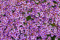 Free Purple Chrysanthemum Royalty Free Stock Image - 24331046