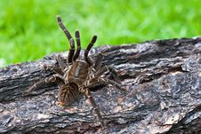 Free Tarantula Royalty Free Stock Photography - 24331067