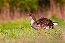 Free Wild Goose Stock Image - 24331071