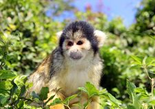 Free Black-capped Squirrel Monkey Stock Photography - 24334162