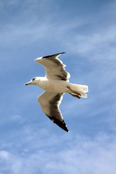 Free Seagull In Flight Royalty Free Stock Image - 24336186
