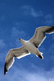 Free Seagull In Flight Stock Images - 24336244