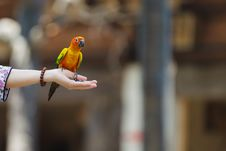 Free Parrot Sitting On Hand Royalty Free Stock Photo - 24337475