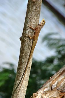 Long Tail Lizard