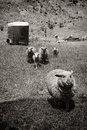 Free Sheep Running Away Stock Photography - 24351312